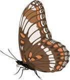 Ammiraglio bianco Butterfly Illustration illustrazione vettoriale