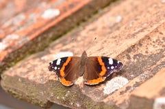 Ammiraglio rosso Butterfly Fotografie Stock Libere da Diritti