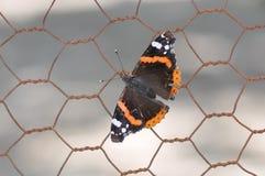 Ammiraglio rosso Butterfly Fotografia Stock