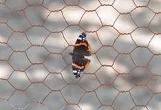 Ammiraglio rosso Butterfly Immagini Stock