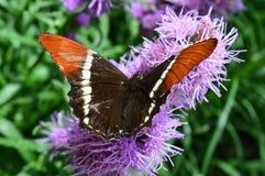 Ammiraglio rosso Butterfly Immagine Stock Libera da Diritti