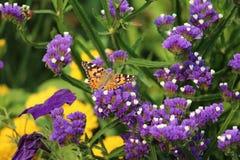 Ammiraglio rosso Butterfly sui fiori eterni porpora Immagine Stock Libera da Diritti