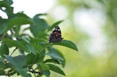 Ammiraglio rosso Butterfly sulla foglia della ciliegia Fotografia Stock