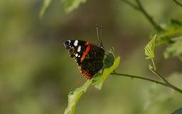 Ammiraglio rosso Butterfly fotografia stock libera da diritti