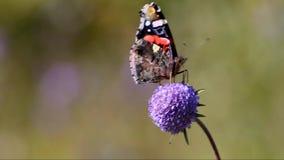 Ammiraglio rosso della farfalla (atalanta della vanessa) video d archivio