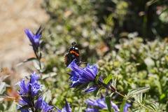 Ammiraglio rosso della farfalla di giorno si siede su un fiore della genziana del salice Fotografia Stock Libera da Diritti