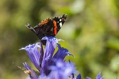 Ammiraglio rosso della farfalla di giorno si siede su un fiore della genziana del salice Immagine Stock