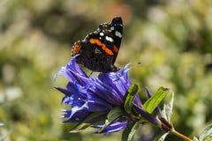 Ammiraglio rosso della farfalla di giorno si siede su un fiore della genziana del salice Fotografie Stock Libere da Diritti