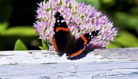 Ammiraglio rosso farfalla - alimentazione di atalanta di Vanessa Fotografie Stock Libere da Diritti
