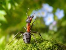 Ammirato con i fiori, racconti della formica Fotografia Stock Libera da Diritti