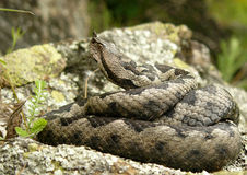Ammodytes d'ammodytes de Vipera - vipère de sable occidentale Photos libres de droits
