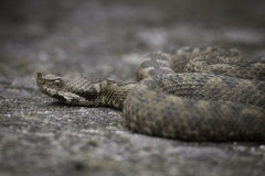Ammodytes de Vipera Photo stock