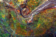 Ammolite fossil Royaltyfri Foto