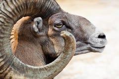 Ammon del Ovis Fotografia Stock Libera da Diritti