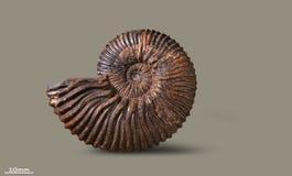 Ammoniet - fossiel weekdier Royalty-vrije Stock Foto