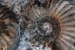 Ammonit Stockfoto