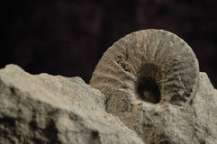 Ammonit Stockbilder