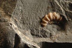 Ammonit Lizenzfreies Stockbild