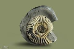 Ammonit - fossil- blötdjur Royaltyfri Bild
