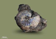 Ammonit - fossil- blötdjur Royaltyfria Foton