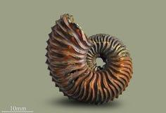 Ammonit - fossil- blötdjur Arkivbilder