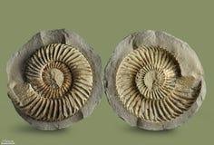 Ammonit - fossil- blötdjur Royaltyfri Foto