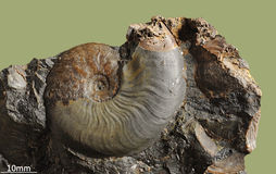 Ammonit - fossil- blötdjur Arkivbild