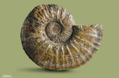 Ammonit - fossil- blötdjur Royaltyfria Bilder