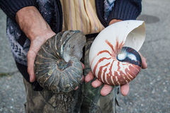 Ammonit und Nautilusmuscheln stockfotos