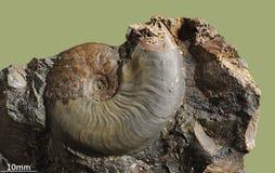 Ammonit - versteinerte Molluske stockfotografie