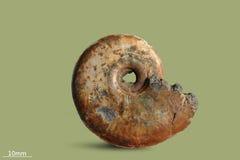 Ammonit - versteinerte Molluske lizenzfreies stockbild
