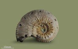 Ammonite - απολιθωμένο μαλάκιο Στοκ εικόνα με δικαίωμα ελεύθερης χρήσης
