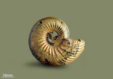 Ammonite - απολιθωμένο μαλάκιο Στοκ Εικόνες