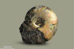 Ammonite - απολιθωμένο μαλάκιο Στοκ Φωτογραφία