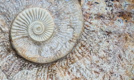 Ammonite σπείρα Στοκ εικόνα με δικαίωμα ελεύθερης χρήσης