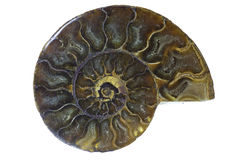 Ammonite της Μαδαγασκάρης απολίθωμα Στοκ εικόνα με δικαίωμα ελεύθερης χρήσης