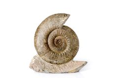 Ammonite Royalty Free Stock Image