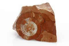 Ammonite Royalty Free Stock Photos