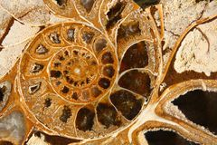 Ammonite Immagine Stock