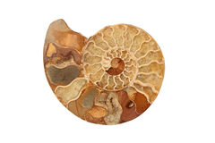 Ammonite Photos stock