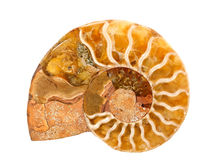 Ammonite. Stone isolated on white Royalty Free Stock Photos