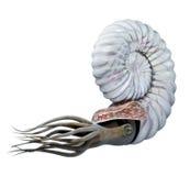 Ammonite διανυσματική απεικόνιση