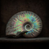 Ammonite Photo libre de droits