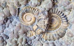Ammonite 2 Images libres de droits