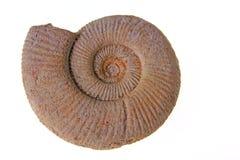 Ammonite Image libre de droits