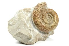 Ammonite 03 Image stock