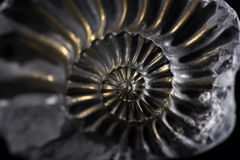 Ammonite Images libres de droits