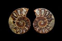 Ammonite Στοκ φωτογραφία με δικαίωμα ελεύθερης χρήσης