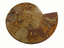 Ammonite Stock Images