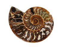 Ammonite Image stock
